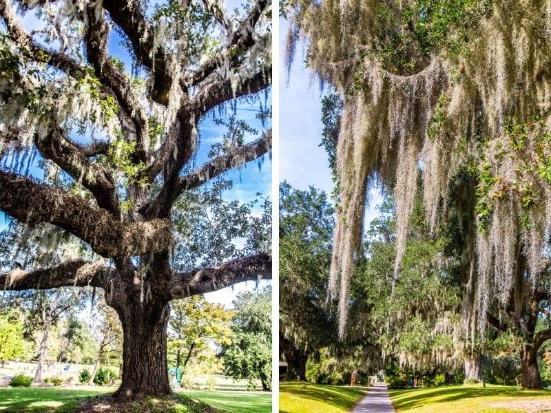 Magnificent oak trees