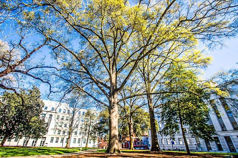 Oak tree in front of the State Capitol building in Downtown Raleigh